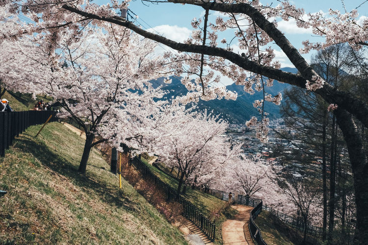 Sakura Tree Plant Flower Springtime Blossom Flowering Plant Branch Nature Beauty In Nature Growth Fragility Tranquility Cherry Blossom Day No People Freshness Tranquil Scene Cherry Tree Park Scenics - Nature Outdoors Sakura Sakura Blossom Sakura Trees