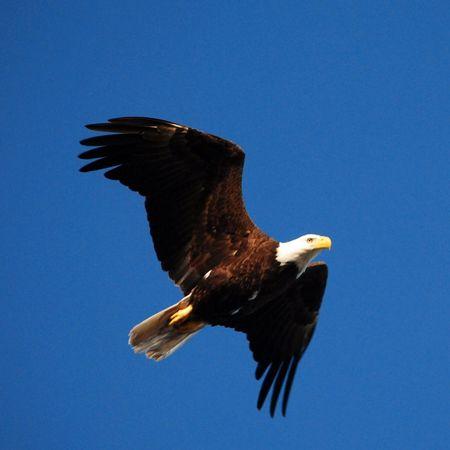 American Bald Eagle Nikon Nature