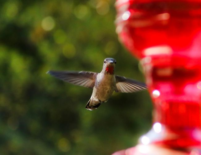 Bird Animal Themes Animal Wildlife Animal Flying Vertebrate Hummingbird Animals In The Wild Spread Wings One Animal Mid-air Motion Red Bird Feeder Focus On Foreground No People Outdoors Nature Day Full Length