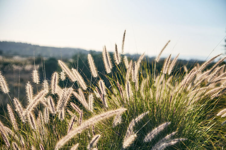 Agriculture Beauty In Nature Cereal Plant Close-up Crop  Day Farm Field Grass Growth Landscape Nature No People Outdoors Plant Rural Scene Scenics Sky Tranquil Scene Tranquility Wheat