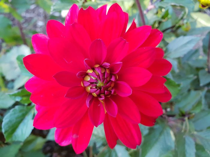 beautiful red flower Flower Head Flower Zinnia  Pink Color Red Hibiscus Petal Stamen Close-up Plant