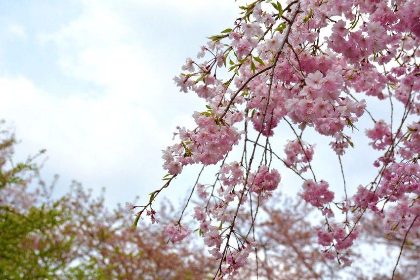 また来年会いましょう😄 Flowers Spring 桜 Cherry Blossoms Nikon EyeEm Nature Lover Naturelovers Eye4photography  Enjoying Life