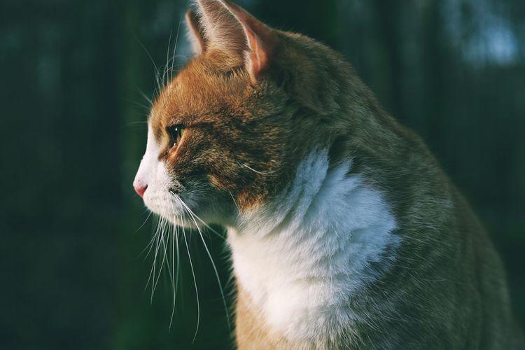 Orange cat in profile in the woods.