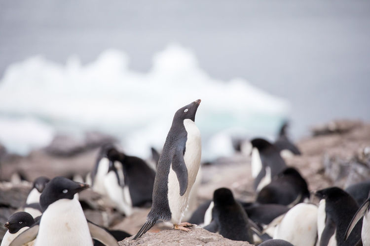 Penguins On Ground