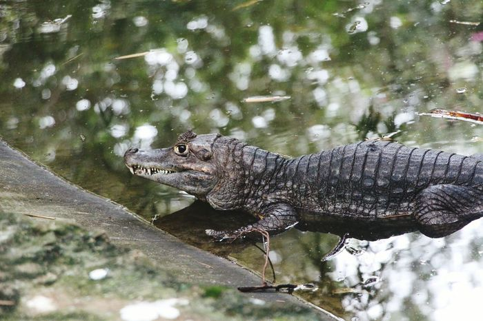 Crocodile Animals Aligator Baby Crocodie Wildlife Wildlife & Nature Forest Photography Pond Carnivorous National Geographic