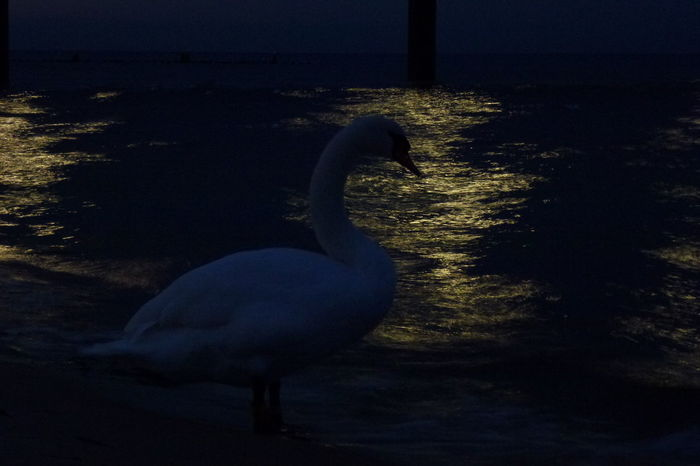 Animal Themes Beach Bird Nature Night No People One Animal SeaTranquility Silhouette Beauty In Nature Reflection Lightreflections In Water Light And Shadow Waterreflections  Usedom, Germany Lights On The Water Night Lights Shining Water Reflections In The Water Tranquil Scene Swan Water Outdoors