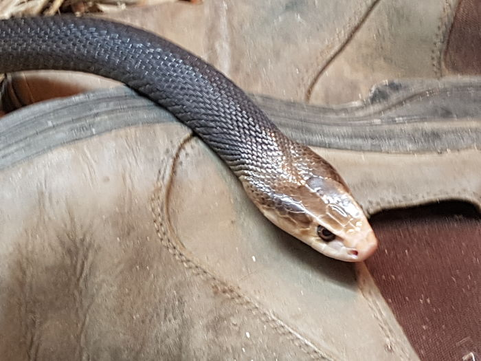 There's a snake in my boot! EyeEm Selects Taipan Deadly Venemous Snake Reptile High Angle View No People One Animal Day Close-up Animal Themes NoEditNoFilter Coastaltaipan