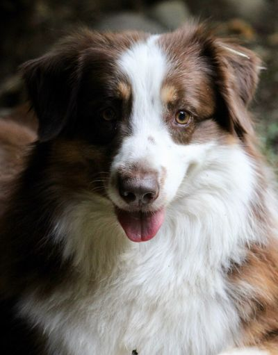 Miniature Australian Shepherd Dog Canine One Animal Pets Domestic Mammal Domestic Animals Animal Themes Vertebrate Animal Lap Dog Animal Body Part Close-up Portrait Facial Expression Border Collie Looking At Camera Small Protruding No People