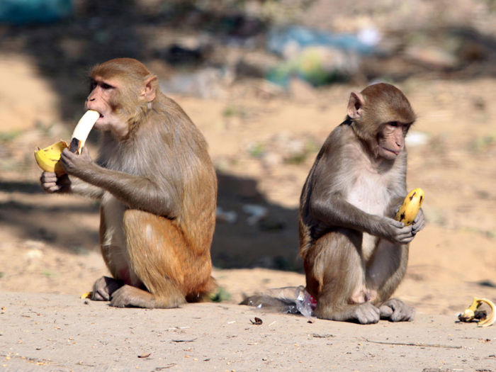 Monkeys Eating Food