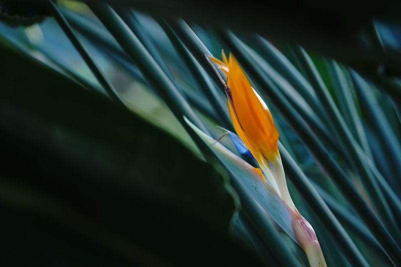 スキマにオレンジ SEL90M28G α6300 Bird Of Paradise - Plant Flower Fragility Petal Nature Growth Beauty In Nature No People Freshness Close-up Flower Head Plant Blooming