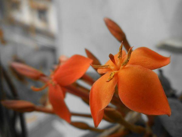 Macro Macro_collection Macro_flower Macro Photography Macro Nature Macro_captures Orange Flower Flower Collection Flower Porn Urban Gardening My Balcony Garden My World