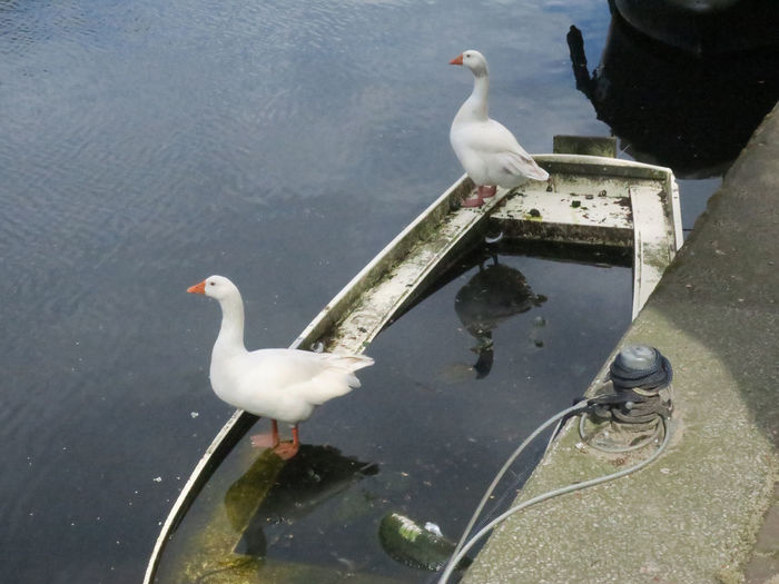 two white geese on a boat Animal Animal Themes Bird Water Animals In The Wild Animal Wildlife Two Animals Nature Day No People Water Bird Reflection Geese Pair