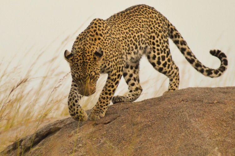 Profile View Of Cheetah Walking On Rock