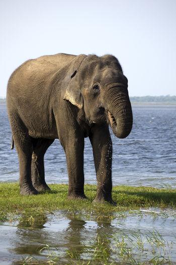 African Elephant Animal Themes Animal Wildlife Animals In The Wild Clear Sky Day Elephant Grass Indian Elephant Large Mammal Nature No People One Animal Outdoors Safari Animals Sky Sri Lanka
