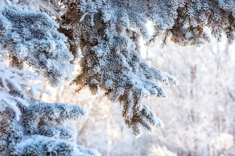 Beautiful snow-covered winter landscape. paws, pine branches in the snow. christmas landscape.