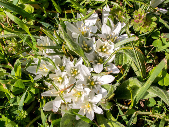 Beauty In Nature Birdworm Blooming Blossom Close-up Crimea,Russia Day Flower Flower Head Flowers Fragility Freshness Gawlet Green Color Growth Nature No People Ornithogalum Outdoors Petal Plant Sevastopol' White Color