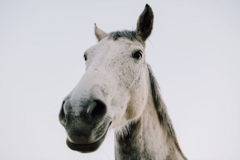 Close-up of a head of a horse against white background