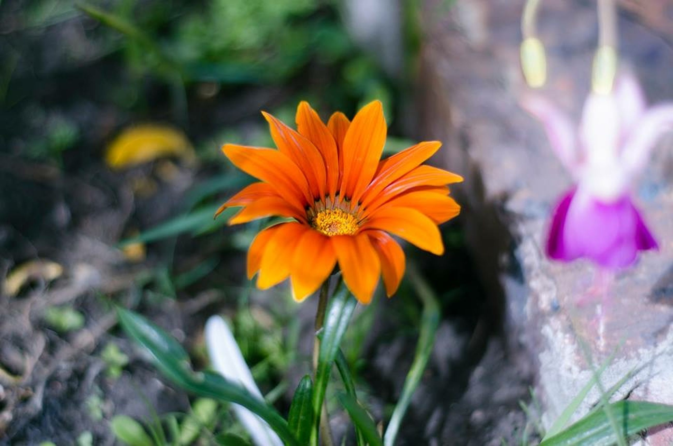 flower, petal, flower head, freshness, fragility, growth, focus on foreground, yellow, close-up, beauty in nature, blooming, plant, nature, orange color, pollen, in bloom, single flower, stem, park - man made space, day