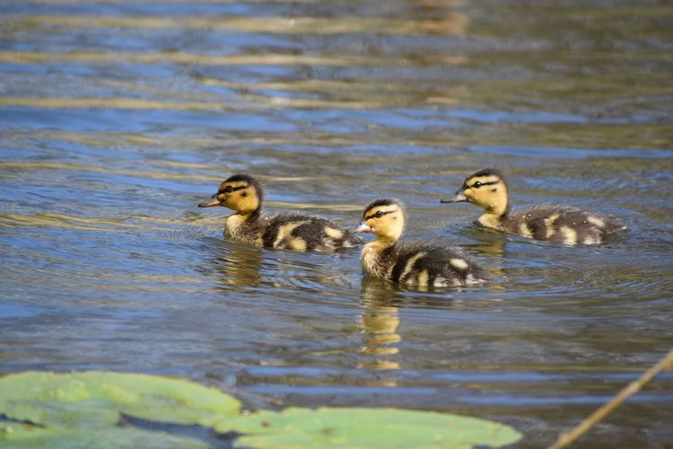 EyeEmNewHere Nikon Nikonphotography Animals In The Wild Young Bird Water Animal Themes Waterfront Young Animal Bird Gosling Lake Swimming Day Nature Animal Wildlife Duckling No People Outdoors Goose Togetherness