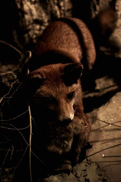 Fox and it's prey One Animal Mammal Animal Animal Themes Animals In The Wild Nature Portrait Close-up Outdoors Night No People Photography Fox EyeEm Nature Lover Eyemphotography EyeEmNewHere Lighting