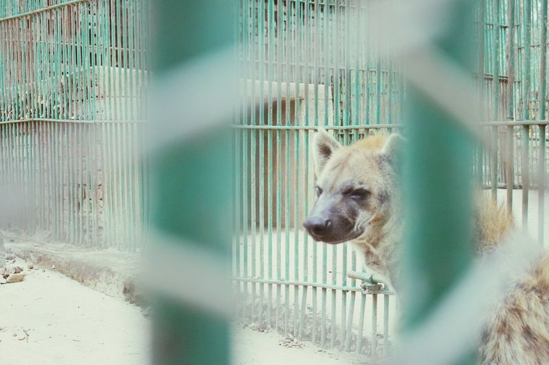 Hyena seen through metallic fence in zoo