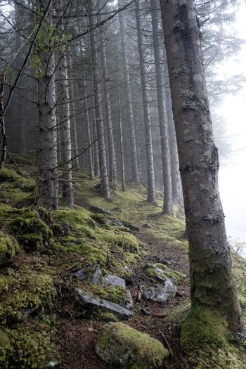 Fogtrail Trail Foggy Fog Norway Tree Plant Forest Land Tree Trunk Trunk Growth Tranquility Beauty In Nature Low Angle View Scenics - Nature Nature WoodLand Tranquil Scene Green Color Day Moss Environment