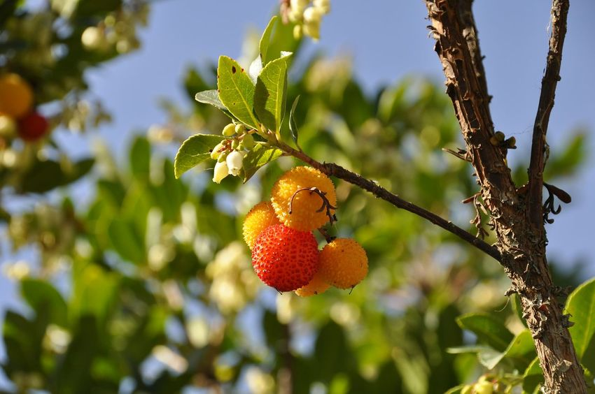 Sardinia fruit Fruit Healthy Eating Tree Food Agriculture Leaf Freshness Hanging Day Growth Outdoors No People Close-up Branch Nature Rural Scene Sky Arbutus Unedo Fruits Of Arbutus EyeEm Nature Lover Sunlight And Shadow Sardinia