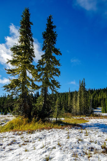 Pine trees on field against blue sky during winter