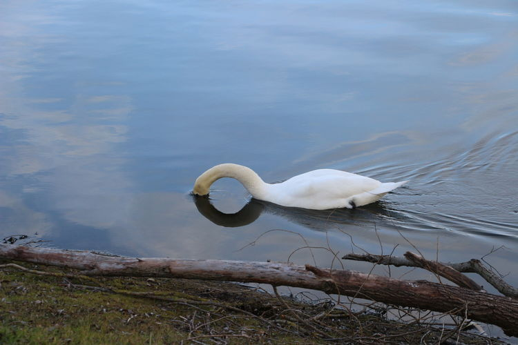 Animal Themes Animal Wildlife Animals In The Wild Beauty In Nature Bird Day First Eyeem Photo Lake Nature No People One Animal Outdoors Swan Water White Color