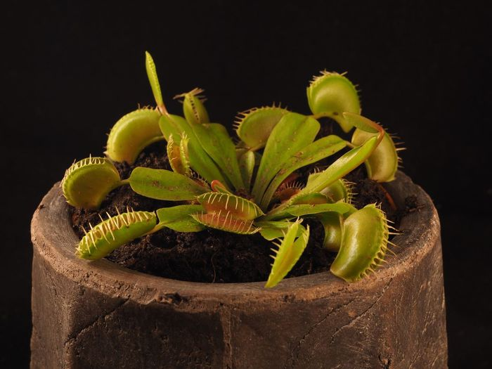 Close-up of potted venus flytrap against black background