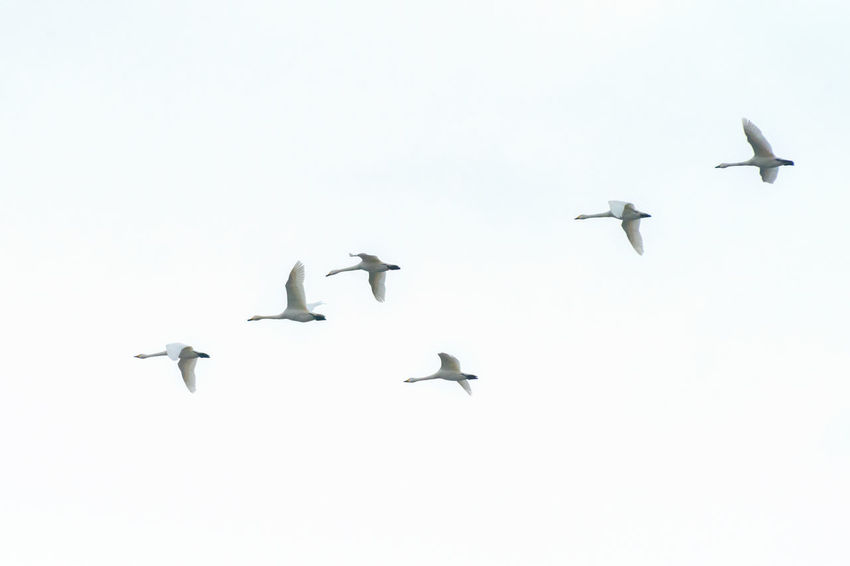 Swans flying in the sky. Tohoku - Japan. Animal Themes Animal Wildlife Animals In The Wild Bird Cygnes Day Flying Flying Swans Japan Japan Photography Low Angle View Nature No People Oiseaux Outdoors Sky Spread Wings Swan Swans ❤ Tohoku White White Background White Birds Wild Wildlife