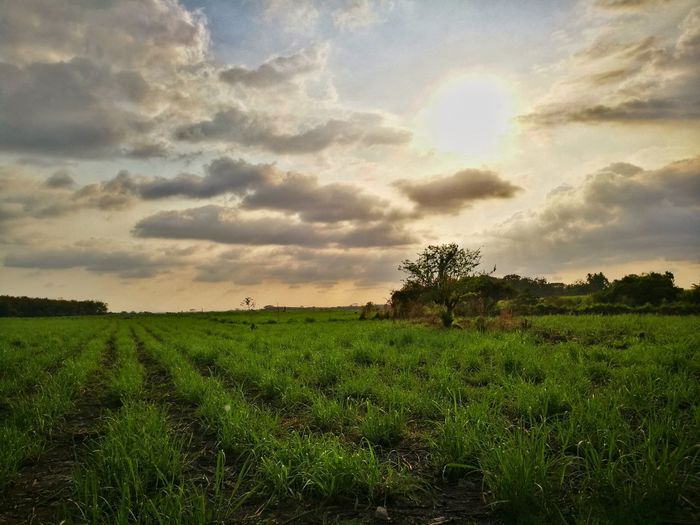 Country life Country Life Sugarcane Rubber Plantation Sky Scenics No People Green Color Sunset