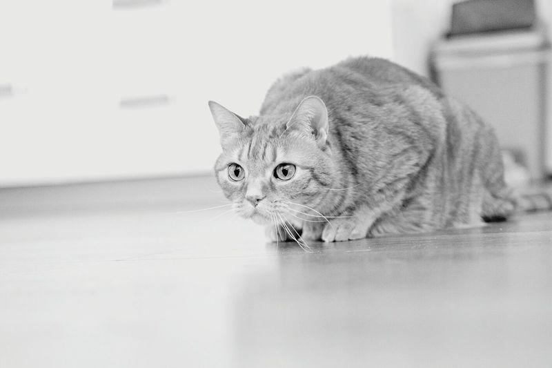 Pet Animals Ilovecats Cat Cats Cat Lovers Catlovers Catsofinstagram B&w Blackandwhite Catace Acethecat Catplaying Kitty Ilovemycat Ace Monochrome Hunt Cathunt