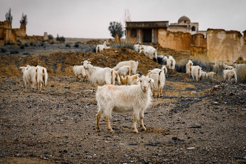 Herd of sheep in a field