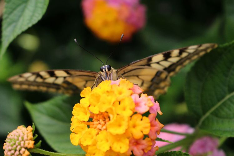 Close-up of butterfly pollinating on yellow flowers