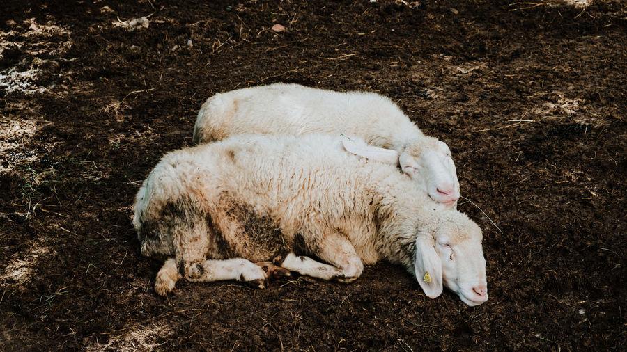Two sheep cuddling and sleeping - cute scene - high angle view of sheep on field - sweet