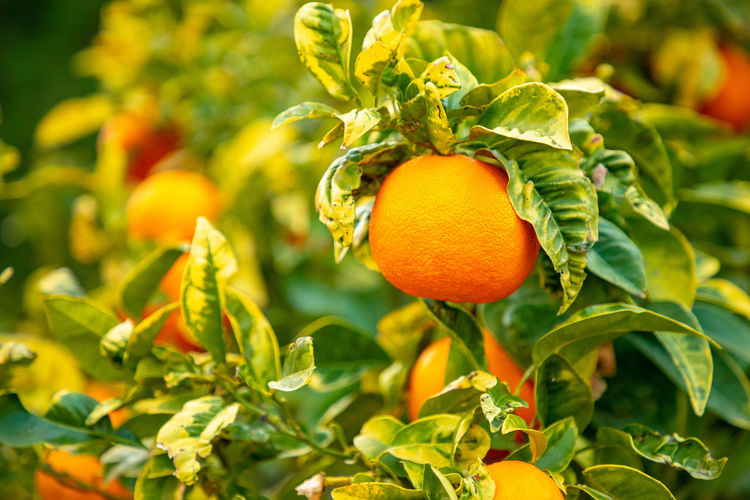 Italy Sicily Food Food And Drink Healthy Eating Freshness Growth Leaf Plant Part Fruit Plant Orange Color Wellbeing Close-up Green Color Nature Focus On Foreground Day No People Vegetable Orange Beauty In Nature Organic Outdoors Ripe
