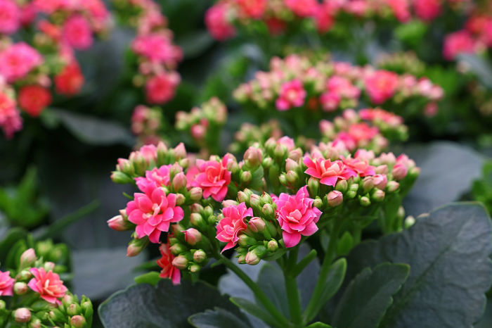 Pink kalanchoe flowers close up Beauty In Nature Blooming Close-up Day Flower Flower Head Fragility Freshness Green Color Growth Kalanchoe Kalanchoe Blossfeldiana Kalanchoe Flower Leaf Nature No People Outdoors Petal Pink Color Pink Flower Plant