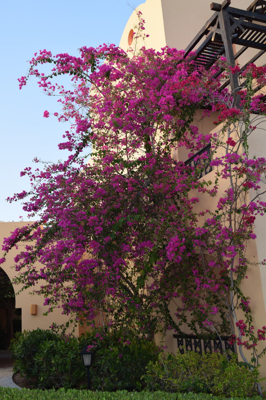flower, growth, nature, pink color, beauty in nature, fragility, blossom, botany, freshness, tree, plant, low angle view, no people, purple, springtime, day, outdoors, branch, lilac, bougainvillea, architecture, close-up