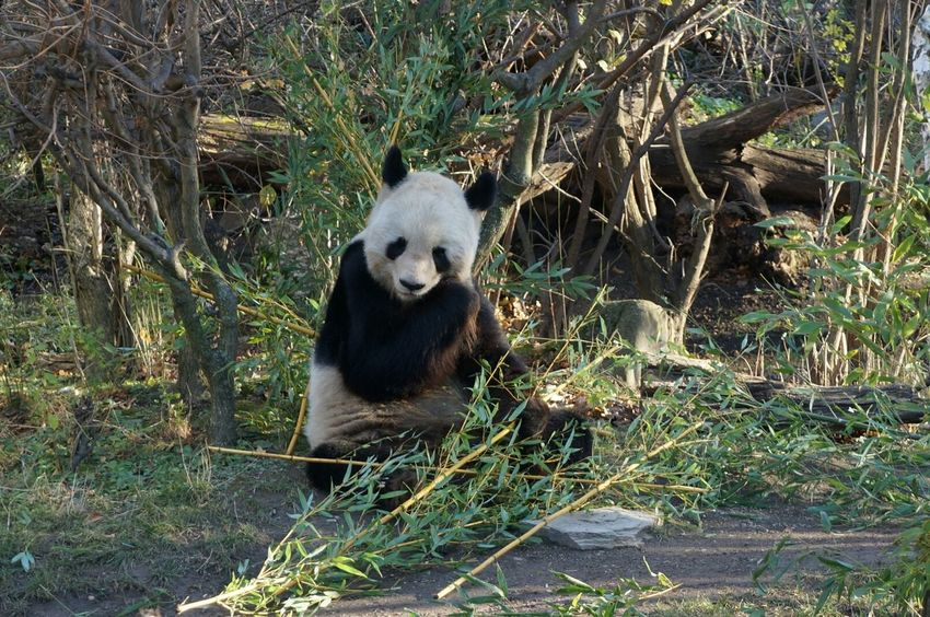 PANDA ♡♡ Panda Zoo Vienna Bamboo