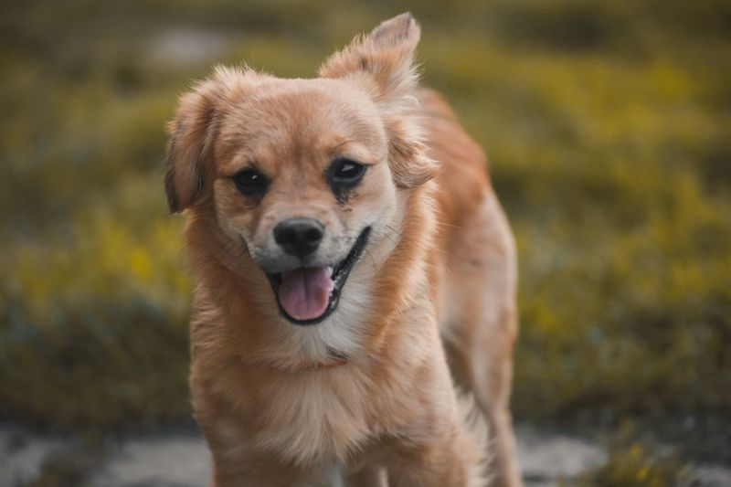 Dog One Animal Pets Animal Themes Mammal Domestic Animals Focus On Foreground Looking At Camera Portrait Close-up Day Sticking Out Tongue No People Outdoors Nature
