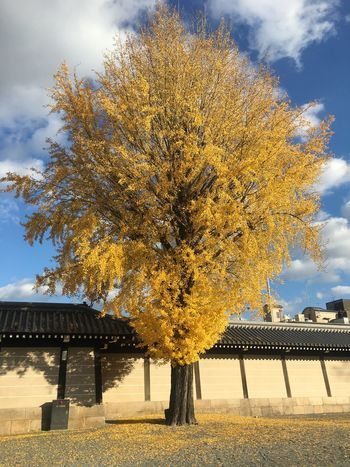 Autumn Autumn Leaves Ginkgo Yellow Leaves Autumn Day Nishihonganji Temple