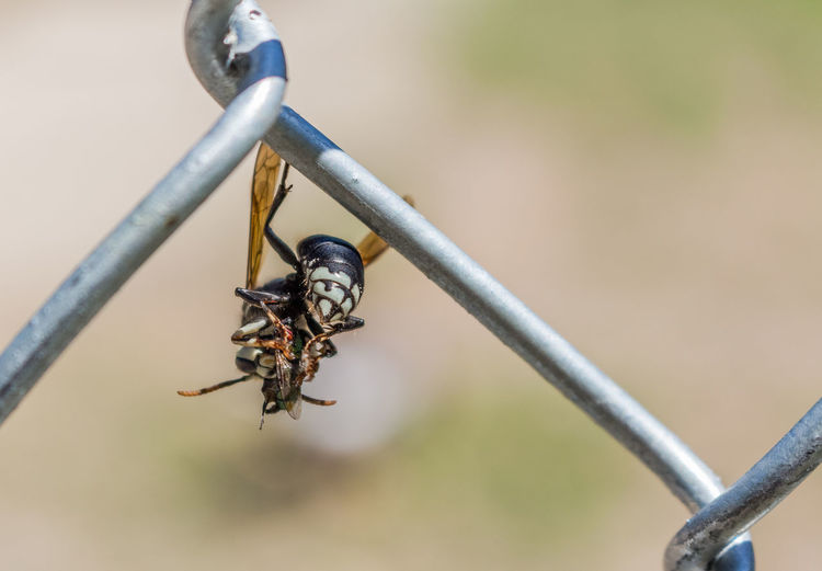 Close-up of wasp on chainlink fence