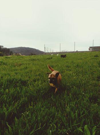 Perros  Perros❤ PerrosMestizos PerrosBuenos Pincher Can Cadela Aldea Casadepapáymamá Galicia Galicia Nature Galicia, Spain Domestic Animals