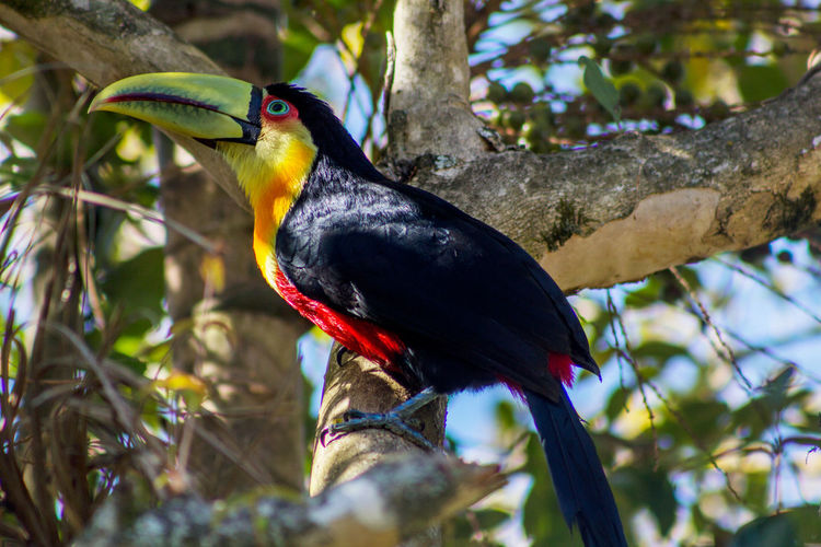 Visit for breakfast Toucan Bird Wildlife Nature Outdoors Green-billed Toucan Ramphastos Dicolorus Red-breasted Toucan Vertebrate Animal Animals In The Wild Animal Themes Branch Animal Wildlife Tree Perching One Animal Focus On Foreground No People Close-up Beak