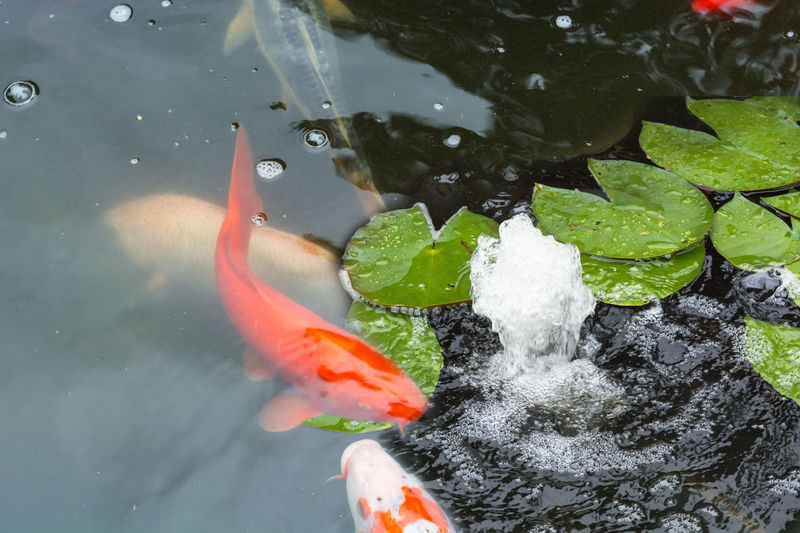 High angle view of koi carps swimming in water