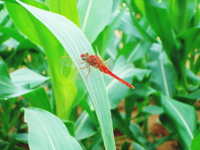 Red Dragonfly Did Not Think That Poses For The Camera
