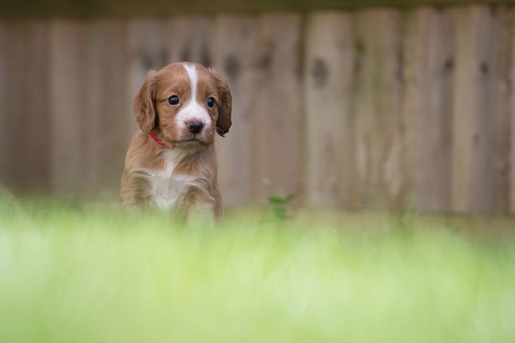 Surface Level Of Puppy On Lawn