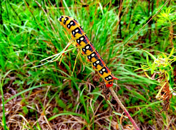 #caterpilar#wildlife #insects #macro Animal Markings Animal Themes Animals In The Wild Beauty In Nature Butterfly Day Focus On Foreground Grass Green Green Color Growth Insect Natural Pattern Nature Non-urban Scene One Animal Outdoors Plant Tranquility Vibrant Color Wildlife Zoology