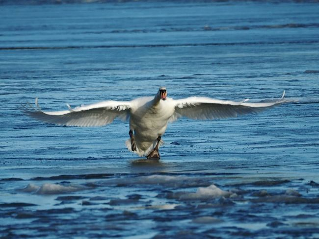 One Animal Bird Animal Themes Spread Wings Animals In The Wild Nature Sea Flying Animal Wildlife Beauty In Nature Outdoors Motion Spreading Wings Cold Temperature Nature Sea Bird Sunny Winter Day Swan Frozen Sea Winter Nature Outside Animals In The Wild Ice Winter Beautiful Nature Freshness